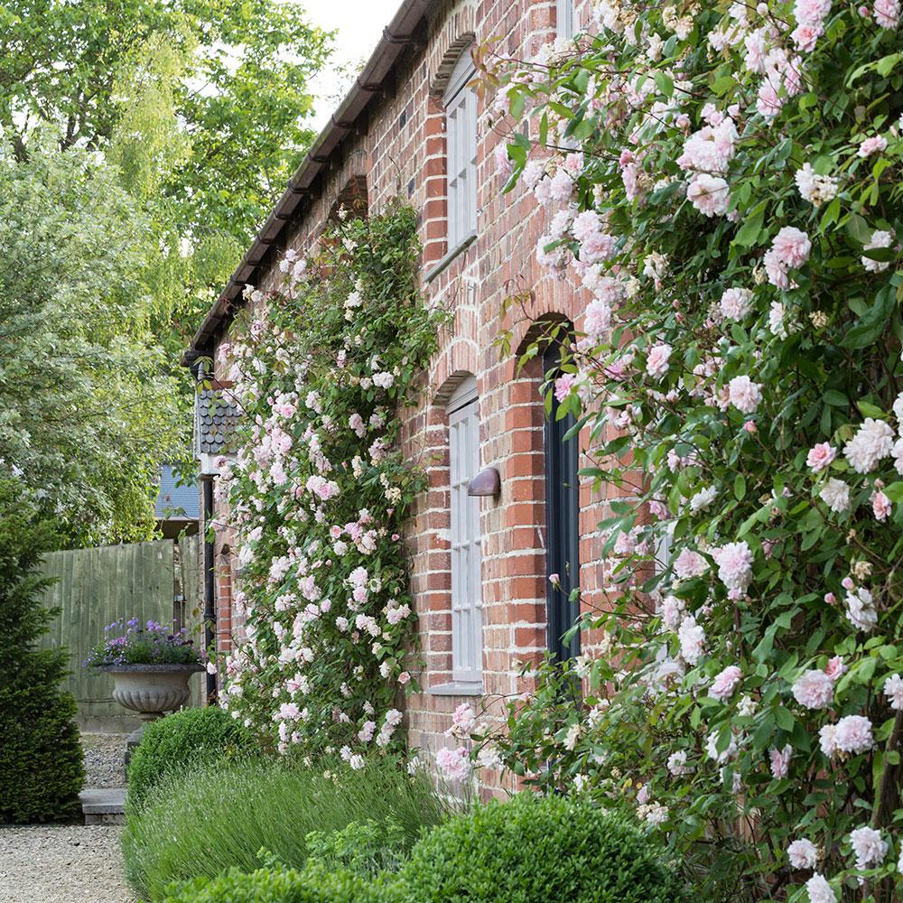 Rosa Rampicante In Vaso come piantare rose rampicanti, clematidi, gelsomini e altre